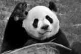 Kebun Binatang Calgary Kanada kembalikan dua ekor panda raksasa ke China karena masalah pakan