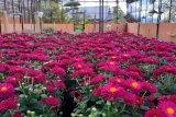 Balitbangtan kembangkan varietas unggul krisan di kawasan Agrowisata Payo
