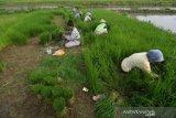 Target produksi padi Nasional 2020
