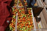 Petani Sigi  keluhkan anjloknya harga tomat di sentra produksi