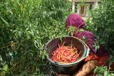 Jelang lebaran, harga cabai di tingkat petani anjlok hanya Rp7.000 per kilogram