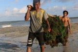 Sumba Timur dorong petani terus budidayakan rumput laut