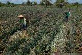 Petani nanas Siak kebanjiran pesanan saat pandemi