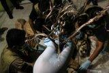 Harimau Sumatera terkam warga Bukit Batu