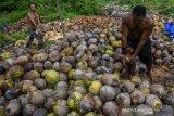 Petani kopra beralih ke kelapa buah mentah