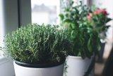 Tips hiasi rumah dengan tanaman rempah