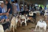 Pedagang dan Peternak melakukan traksaksi jual beli kambing di pasar hewan, Desa Sibreh, Kecamatan Suka Makmur, Kabupaten Aceh Besar, Aceh, Kamis (20/5/2020). Traksaksi perdagangan ternak kambing di pasar tradisional itu meningkatdan dan ramai pengunjung membeli ternak untuk kebutuhan tradisi Meugang menyambut Idul Fitri dengan harga penawaran kambing Rp1 juta hingga Rp3,5 juta per ekor menurut besaran kambing. Antara Aceh/Ampelsa.
