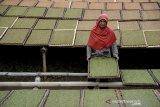 Petani mengeringkan tembakau di Kampung Tembakau, Tanjungsari, Kabupaten Sumedang, Jawa Barat, Jumat (22/5/2020). Wakil Menteri Keuangan Suahasil Nazara mencatat realisasi penerimaan Bea dan Cukai hingga April 2020 mencapai Rp 57,7 triliun yang sebagian besar disumbang oleh Cukai tembakau yang meningkat 25,08 persen. ANTARA JABAR/Raisan Al Farisi/agr