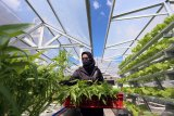 Warga memanen tanaman kangkung yang di tanam dengan sistem hydroponik di atas atap rumahnya di Blitar, Jawa Timur, Sabtu (23/5/2020). Warga tersebut merupakan pengusaha lokal yang beralih profesi dari pengusaha pakaian jadi, menjadi berkebun guna memanfaatkan masa pandemi ini agar tetap produktif. Antara Jatim/Irfan Anshori/zk