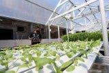 Warga mengecek usia tanaman sayuran yang di tanam dengan sistem hydroponik di atas atap rumahnya di Blitar, Jawa Timur, Sabtu (23/5/2020). Warga tersebut merupakan pengusaha lokal yang beralih profesi dari pengusaha pakaian jadi, menjadi berkebun guna memanfaatkan masa pandemi ini agar tetap produktif. Antara Jatim/Irfan Anshori/zk