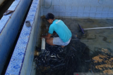 Ikan berbentuk belut ini digemari di Jepang, Sumbar berniat ekspor