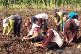 DIklaim tahan iklim ekstrem, Temanggung kembangkan Tembakau Kemloko