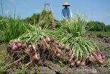 Harga bawang merah tingkat petani di sentra produksi Alahan Panjang terus naik dan telah capai Rp50.000 per kilogram