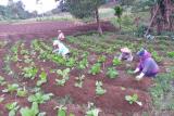 Bertani di era pandemi
