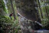 Buruh tani menyadap getah pohon karet di Perkebunan Karet Cigentur, Kabupaten Bandung Barat, Jawa Barat, Jumat (29/5/2020). Kementerian Pekerjaan Umum dan Perumahan Rakyat (PUPR) akan melakukan skema