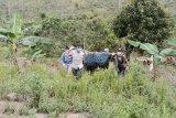 BKSDA selamatkan orangutan di dekat pemukiman warga