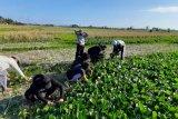 Petani Bali manfaatkan peluang pandemi COVID-19 panen sawi hijau dua ton