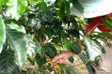 Harga kopi arabika di Kabupaten Solok anjlok, petani merugi