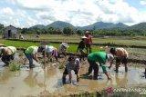 Kabupaten Landak lakukan penguatan pangan dengan menanam padi unggulan