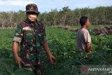 Kodim 0414 Belitung motivasi petani menanam singkong