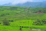 Wisata kebun teh di tengah pandemi  COVID-19