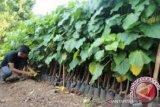 Masyarakat Muna kembangkan tanaman kemiri yang bernilai ganda
