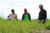 Padi varietas Trisakti dengan teknologi Migo hasilkan tujuh ton/hektare