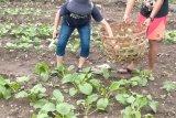 Bertanam jadi solusi penghasilan di tengah pandemi corona