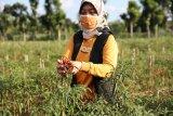 Wagub Lampung soroti anjloknya harga cabai akibat pandemi COVID-19