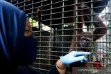 Dokter hewan Balai Konservasi Sumber Daya Alam (BKSDA) Aceh Taing Lubis memeriksa kondisi kesehatan owa lar (Hylobates lar) yang diserahkan warga di Banda Aceh, Aceh, Selasa (2/6/2020). BKSDA Aceh merawat dan merehabilitasi satwa-satwa langka dan lindungi hasil sitaan dan yang diserahkan warga untuk dilepasliarkan kembali kehabitatnya. Antara Aceh/Irwansyah Putra.
