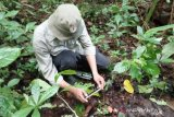 Temukan 26 titik sebaran tumbuhan langka di Danau Maninjau, BKSDA Agam: jadikan destinasi wisata (Video)