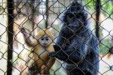 Anak Lutung Jawa Dalam Pelukan Ibunya Hadir Di Bandung Zoo