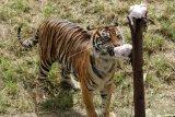 Harimau Sumatera Melahap Ayam Potong