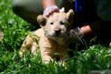 Perawat satwa merawat bayi Singa Putih (Panthera leo) yang berjenis kelamin betina dan bernama Gisel di Taman Safari Prigen, Pasuruan, Jawa Timur, Kamis (4/6/2020). Gisel yang lahir normal pada 8 April 2020 dengan berat 1,5 Kg tersebut lahir dari indukan betina bernama Ghost dan pejantan bernama Kaka, sehingga kelahiran ini menambah koleksi Singa Putih di taman itu menjadi enam ekor . Antara Jatim/Zabur Karuru