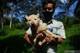 Perawat satwa menggendong bayi Singa Putih (Panthera leo) yang berjenis kelamin betina dan bernama Gisel di Taman Safari Prigen, Pasuruan, Jawa Timur, Kamis (4/6/2020). Gisel yang lahir normal pada 8 April 2020 dengan berat 1,5 Kg tersebut lahir dari indukan betina bernama Ghost dan pejantan bernama Kaka, sehingga kelahiran ini menambah koleksi Singa Putih di taman itu menjadi enam ekor . Antara Jatim/Zabur Karuru