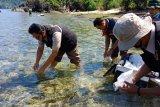 SKIPM Padang lepas liar 95.610 benih lobster