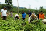Bupati-Kapolres Konawe Utara Panen Raya Nilam Bersama Petani