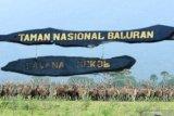Rusa timor (cervus timorensis) berada di savana bekol Taman Nasional Baluran, Situbondo, Jawa Timur, Jumat (5/6/2020). Ditutupnya pariwisata di TN Baluran pada masa Pandemi COVID-19, berdampak pada perilaku satwa yang biasanya beraktivitas di dalam hutan saat ini mudah dijumpai di padang savana karena tidak adanya wisatawan. Antara Jatim/Budi Candra Setya/zk