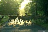Rusa timor (cervus timorensis) melintas di jalan savana Bekol Taman Nasional Baluran, Situbondo, Jawa Timur, Jumat (5/6/2020). Ditutupnya pariwisata di TN Baluran pada masa Pandemi COVID-19, berdampak pada perilaku satwa yang biasanya beraktivitas di dalam hutan saat ini mudah dijumpai di padang savana karena tidak adanya wisatawan. Antara Jatim/Budi Candra Setya/zk