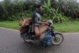 Warga Suku Anak Dalam Jambi Kendarai Sepeda Motor Bawa Hewan Hasil Buruan