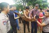 Kemunculan anak buaya resahkan karyawan perkebunan sawit Pulang Pisau