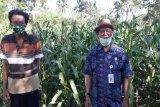 Produksi jagung di Gunung Kidul capai 245.741 ton
