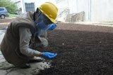 Peluang ekspor meningkat, cabai jamu dari Lampung makin diminati