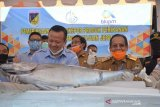 Sulteng ekspor langsung ikan tuna sirip kuning ke Jepang