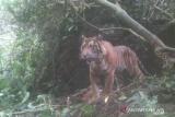 Sempat menghilang, warga Gantuang Ciri Kabupaten Solok kembali diresahkan munculnya kawanan harimau