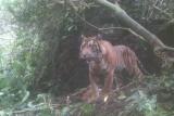 Kemunculan harimau kembali meresahkan warga Gantuang Ciri Solok