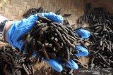 Cabai jamu Lampung diminati di 12 negara