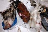 Pejudi sabung ayam kocar kacir saat digerebek polisi, tiga ekor ayam aduan tertinggal