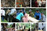 Balai TNWK evakuasi macan dahan dari permukiman warga