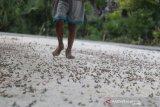 Sumba Timur diserang hama belalang nimfa